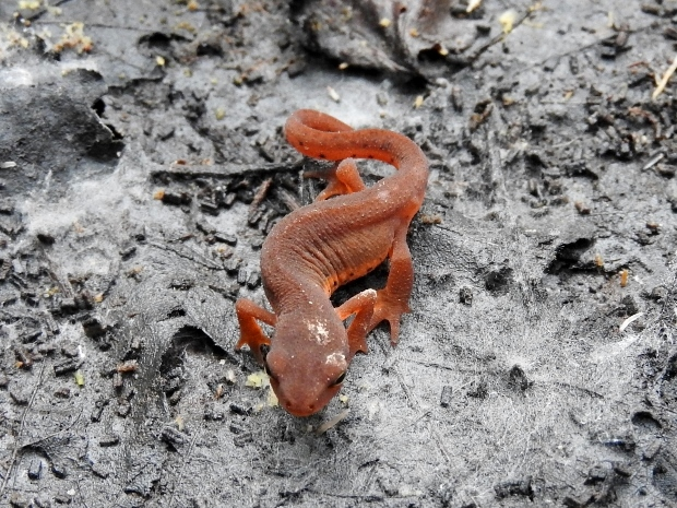 Eastern Newt (red eft form)