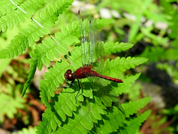 Probable Cherry-faced Meadowhawk