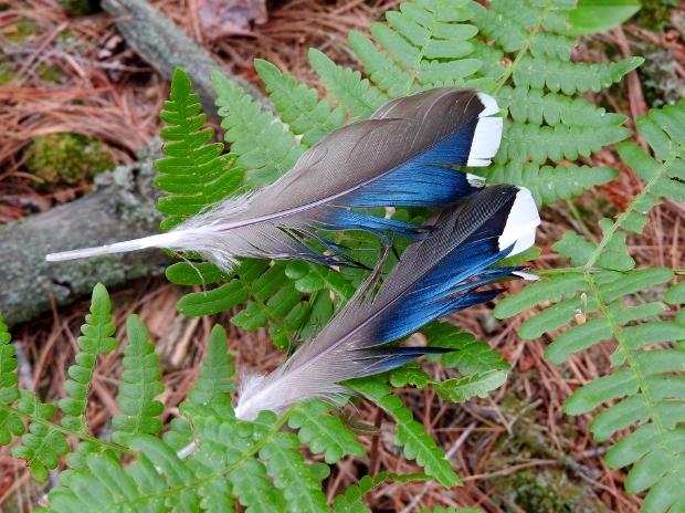 Mallard Feathers
