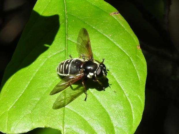 Hover Fly (Sericomyia militaris)