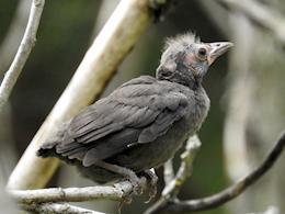 Common Grackle (fledgling)